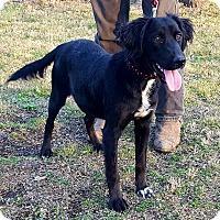 Brittany/Labrador Retriever Mix Puppy for adoption in Somonauk, Illinois - Duke
