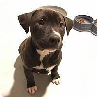 Adopt A Pet :: Henry - Southbury, CT