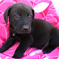 Labrador Retriever/Bluetick Coonhound Mix Puppy for adoption in Allentown, Pennsylvania - Horik
