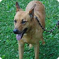 German Shepherd Dog/Labrador Retriever Mix Dog for adoption in Greeneville, Tennessee - Michael