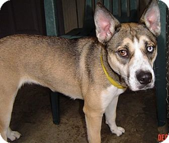 Husky/American Bulldog Mix Puppy for adoption in Irwin, Pennsylvania - Holly