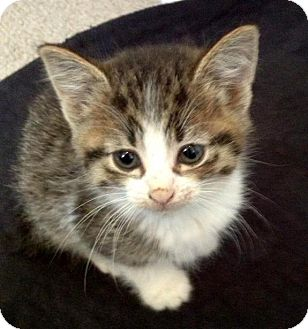 Colorpoint Shorthair Kitten for adoption in Troy, Michigan - Little Tiger