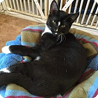 Domestic Shorthair Kitten for adoption in Erwin, Tennessee - Scottie