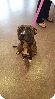 "American Pit Bull Terrier/Boston Terrier Mix Dog for adoption in Kill Devil Hills, North Carolina - Petunia ""Tunie"""
