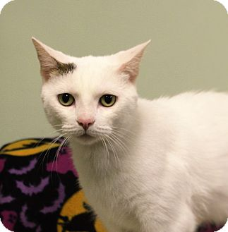 Domestic Shorthair Cat for adoption in Murphysboro, Illinois - Pez