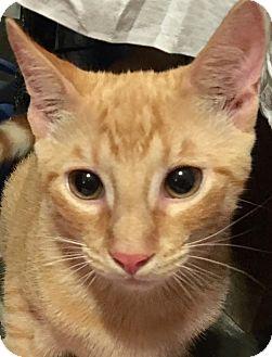 Domestic Shorthair Kitten for adoption in Metairie, Louisiana - Jynx - Gorgeous Orange Kitten