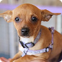 Chihuahua Mix Puppy for adoption in Pacific Grove, California - Betty