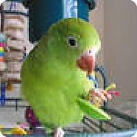 Adopt A Pet :: Hiccup - Independence, KY
