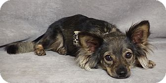 Chihuahua/Pomeranian Mix Dog for adoption in Kerrville, Texas - Redford