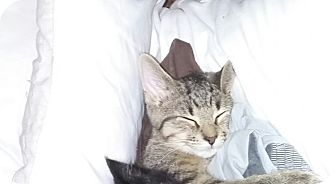 Domestic Shorthair Kitten for adoption in Warren, Michigan - Heidi
