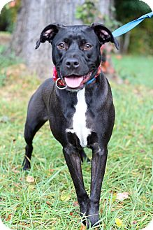 Pit Bull Terrier Mix Dog for adoption in Waldorf, Maryland - Leo ADOPTION PENDING
