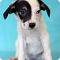 Adopt A Pet :: Sarabi - Waldorf, MD