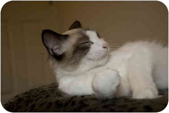 Ragdoll Cat for adoption in Alexandria, Virginia - Snowball