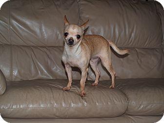 Chihuahua Dog for adoption in Toronto/Etobicoke/GTA, Ontario - Rosa - tiny!