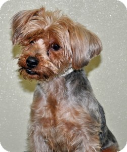 Yorkie, Yorkshire Terrier Dog for adoption in Port Washington, New York - Jazzy