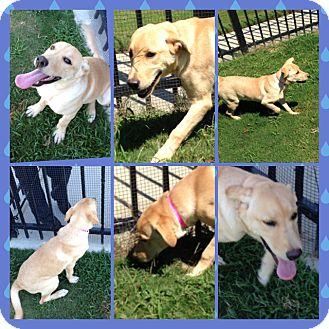 Golden Retriever/Labrador Retriever Mix Puppy for adoption in CHICAGO, Illinois - GRACE