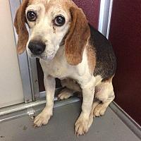 Beagle Mix Dog for adoption in Waldorf, Maryland - Nia