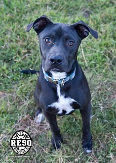 American Pit Bull Terrier Mix Dog for adoption in Tuskegee, Alabama - Winnie