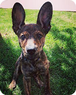 Dutch Shepherd Puppy for adoption in Dallas, Texas - Keva - Guest