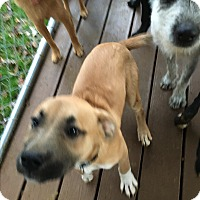 Boxer Mix Puppy for adoption in Staunton, Virginia - Coco