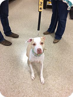 American Staffordshire Terrier Mix Dog for adoption in Hohenwald, Tennessee - Jax