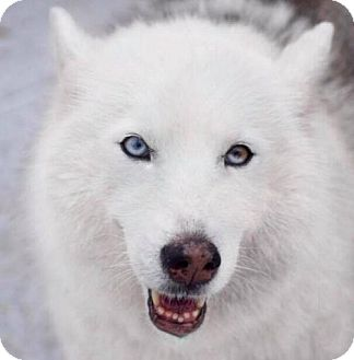 Siberian Husky Dog for adoption in Jupiter, Florida - Desna