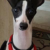 Adopt A Pet :: Ashton (Ash) in Houston area - Argyle, TX