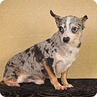 Chihuahua Mix Dog for adoption in Colmar, Pennsylvania - Kato