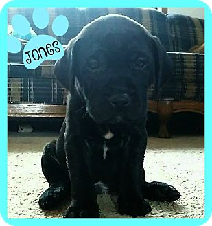 American Pit Bull Terrier/Labrador Retriever Mix Puppy for adoption in Des Moines, Iowa - Jones-adoption pending