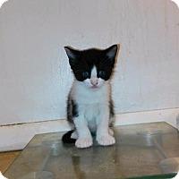 Adopt A Pet :: Optimo - Miami Shores, FL
