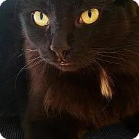 Domestic Mediumhair Cat for adoption in Chandler, Arizona - Bowtie