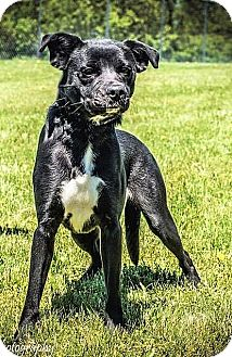Boston Terrier/Labrador Retriever Mix Dog for adoption in Germantown, Maryland - Harlee