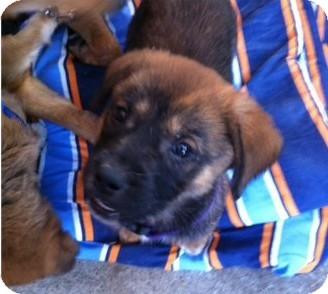 Shepherd (Unknown Type) Mix Puppy for adoption in Gainesville, Florida - Tupelo