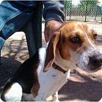 Adopt A Pet :: Whiskey - Phoenix, AZ