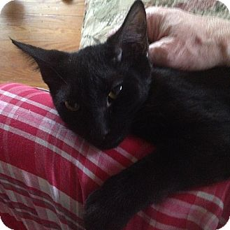 Domestic Shorthair Kitten for adoption in Pittstown, New Jersey - Tommy