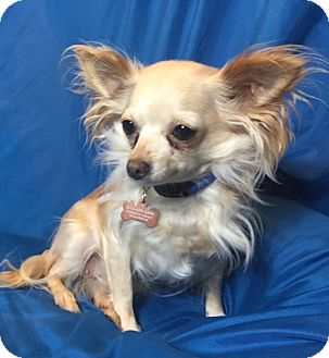 Chihuahua Dog for adoption in San Leandro, California - Lilly