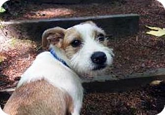 Terrier (Unknown Type, Medium) Mix Dog for adoption in Bellevue, Washington - Maxine