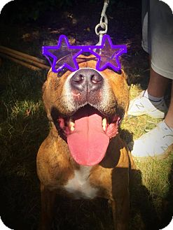 Pit Bull Terrier/American Staffordshire Terrier Mix Dog for adoption in Cleveland, Ohio - Malley