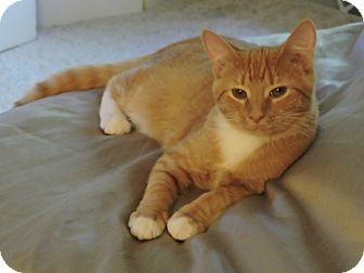 Domestic Shorthair Kitten for adoption in Cincinnati, Ohio - Cheese