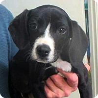 Adopt A Pet :: Ace - Westwood, NJ