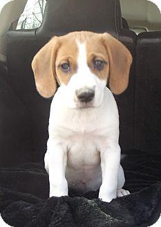Pointer Mix Puppy for adoption in Cabool, Missouri - Bandit
