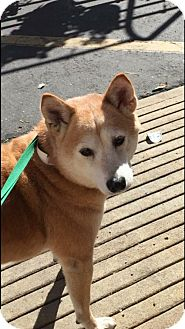 Shiba Inu Dog for adoption in Los Alamitos, California - Saki