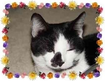 Domestic Shorthair Cat for adoption in KANSAS, Missouri - Moo Moo