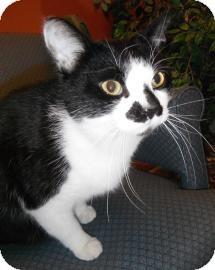 Domestic Shorthair Cat for adoption in Jackson, Michigan - Kojack