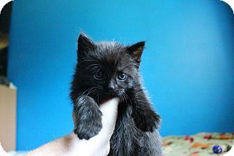 American Shorthair Kitten for adoption in Douglas, Ontario - Kisses