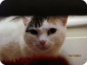 Domestic Shorthair Cat for adoption in Maywood, Illinois - Tri