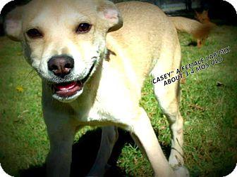 Labrador Retriever Mix Puppy for adoption in Gadsden, Alabama - Casey