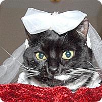Domestic Shorthair Cat for adoption in Wayne, New Jersey - Sheba