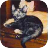 Domestic Shorthair Cat for adoption in Fayette, Missouri - Paisley