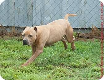 American Pit Bull Terrier Mix Dog for adoption in Powellsville, North Carolina - PRINCE
